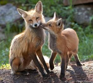 36-fox-animal-photography-54